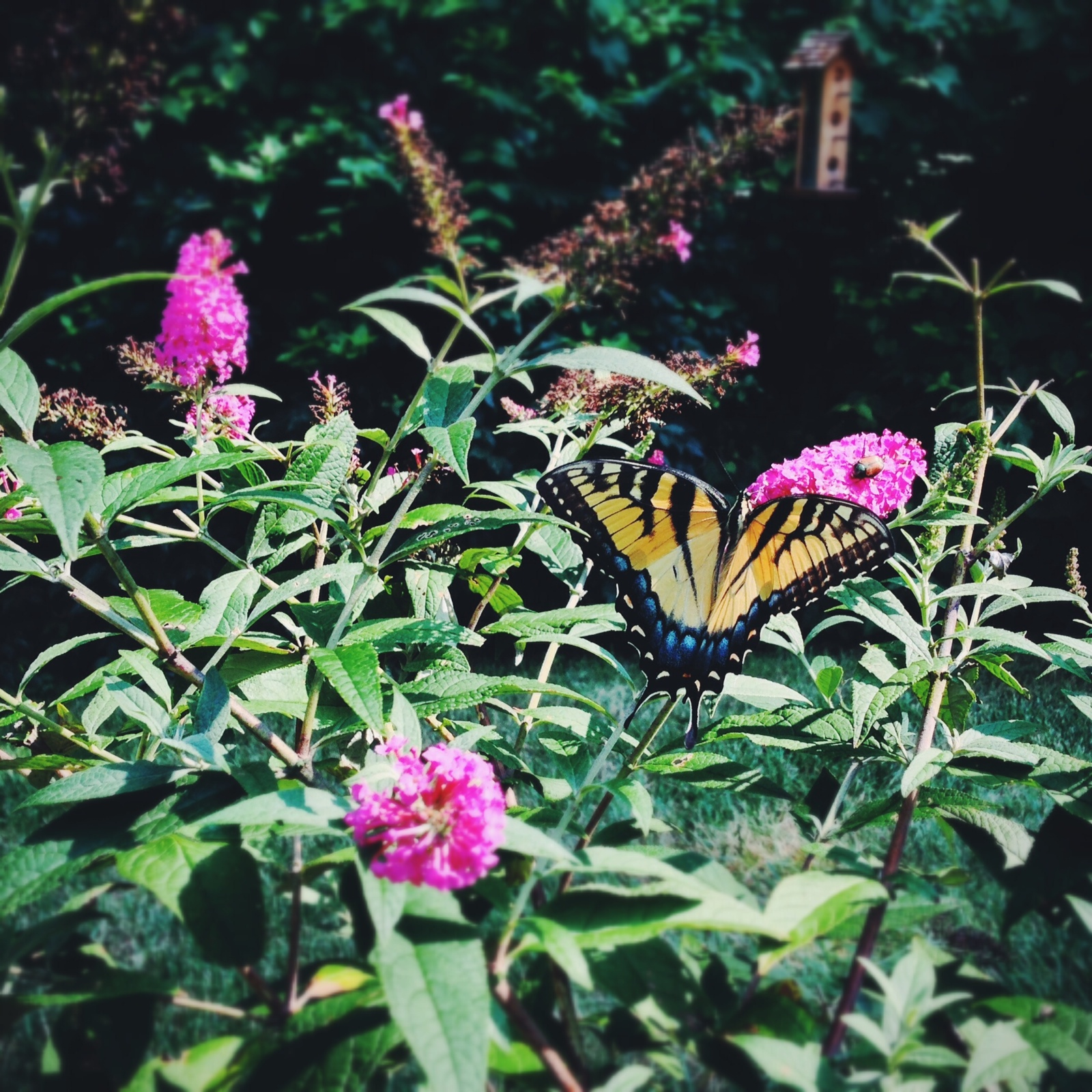 Butterfly bush July 2013