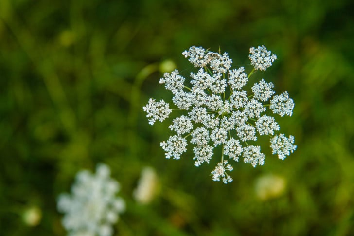 Queen Anne's Lace - photo by Casey Collings